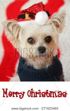 poster of CUTE Small dog Christmas. A Morkie half Maltese - Yorkie dog smiles for his Christmas Portrait.  Dog