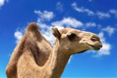 Camel head agaisnt sky background