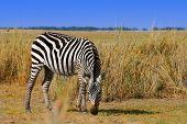 African Wild Zebra. Kenya. Amboseli national park.