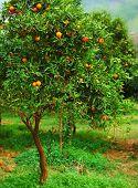 Maduro mandarina árbol que crece en la granja jardín, sector agrícola