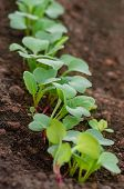 The Garden Is Growing Red Radish. Rows Of Radish Seedlings In The Garden. Organic Healthy Food From  poster