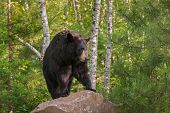 Adult Female Black Bear (ursus Americanus) Stands On Rock Looking Right - Captive Animal poster