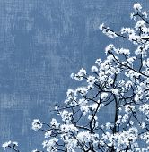 Blooming spring tree background, white flowers over blue sky, textured