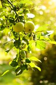 Green apples on an apple-tree branch in garden