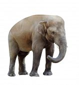 elephant isolated on white background. Little elephant looks into the frame bending the trunk. Young poster