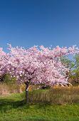 Kirschenbaum im Frühling