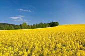 rapeseed field in the springtime