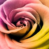 close-up da bela rosa multicolorida
