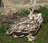 Owl, Indian Eagle Owl