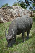 water buffalo in Rinca Island, Indonesia