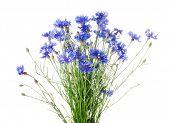 Centáurea azul bonita, isolada no fundo branco