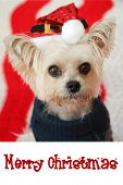 CUTE Small dog Christmas. A Morkie half Maltese - Yorkie dog smiles for his Christmas Portrait.  Dog poster