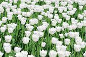 White blooming tulips
