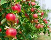 stock photo of apple tree  - Red apples on apple tree branch - JPG