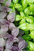 frisch Basilikumblätter grün closeup