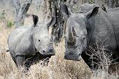 Madre Rhino es atenta y protege su joven