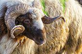 A Farm Mammal Animal Sheep Looking poster