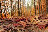 Autumn Forest Illuminated By The Sun. Forest Trail Covered With Fallen Leaves. Calm Sunny Day. Close poster