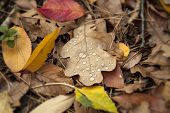 Oak Leaf With Water Drops. Multicolored Fallen Leaves And Pine Needles In The Forest. Autumn Backgro poster