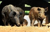 picture of razorback  - Two captured wild hogs in their pens - JPG