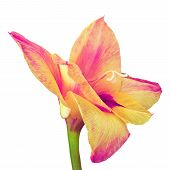 Flower Magenta  Yellow Gladiolus Isolated On White Background. Flower Bud Close Up. Flower Bud On A  poster