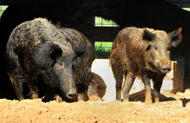 picture of javelina  - Two captured wild hogs in their pens - JPG