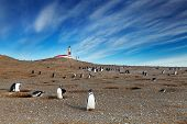 Colony of magellanic penguins on Magdalena island, Strait of Magellan, Chile