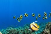 School of Tropical Fish: Red Sea Bannerfish