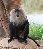 Endangered And Threatened Endemic Monkey Of India - Lion-tailed Macaque.its Also Known As Wanderoo, poster