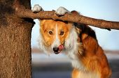pic of sticking out tongue  - cute happy dog  - JPG