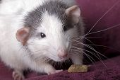 Gray And White Domestic Rat On Red poster