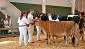 Mt Vernon, Wa - August 13 - Teens Show Cows At Ffa County Fair Show