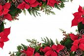 Christmas decorative border of poinsettia flower heads, holly, ivy, mistletoe and cedar leaf sprigs