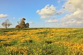 A lovely spring day in southern Israel. Flowering fields and the bright blue sky. A flock of migratory birds in the sky