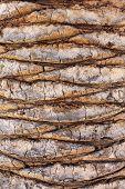 texture of palm bole