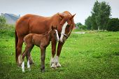 picture of mare foal  - beautiful horses on the field - JPG