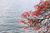 Magnolia Branch On Lake Background.