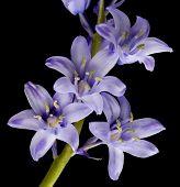 Spanish Bluebell Hyacintoides Hispanica