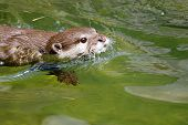 Asian small clawed otter (amblonyx cinereus) swimming in fresh water