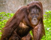 Portrait of Orangutan (Pongo pygmaeus) with serious pose