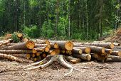 stock photo of deforestation  - logs of trees in the forest after felling - JPG