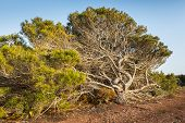 picture of windswept  - An old windswept tree with twisted branches - JPG