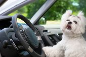 stock photo of white bark  - Little cute maltese dog in the car with paw on the steering wheel barking - JPG
