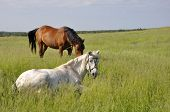 Horses In The Grass.