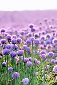 Lush Blooming Chives Field