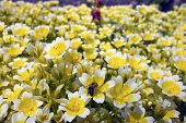 Small yellow and white flowers in a garden.