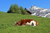 Sleeping Cow On A Green Meadow