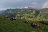 Herd Of Cattle Grazing