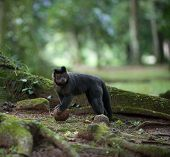 Tufted Capuchin With A Coconut