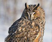 Portrait of Long-eared owl on grey background